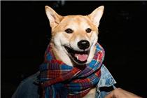 纽约时尚圈一柴犬当模特月入九万元