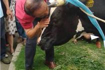 一号店4小时200万牛奶被抢 于刚被迫亲吻奶牛