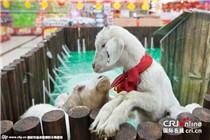 """南京一超市请来""""咩咩""""卖萌 庆祝羊年"""