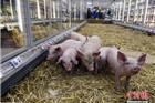 """农民抗议猪肉价跌 法国超市生鲜区变""""猪圈"""""""