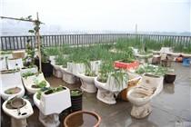 山东菏泽一屋顶种满了马桶菜园