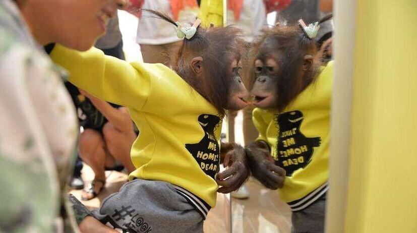 """""""网红""""红毛猩猩逛商场 对镜试衣萌态百出"""
