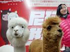 上海商家冲刺年货销售高峰 苏宁请羊驼站台